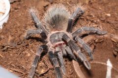 Паук Ласиодора Парахибана от 4 линьки, самцы и самки