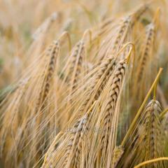 Пшеница озимая Золотоколосая