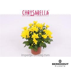 Хризантема Chrysant Heat Yellow