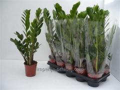 Замиакулькас Zamiifolia