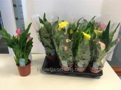 Квіти садові