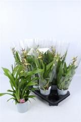 Орхидея Brassia Summer Dream
