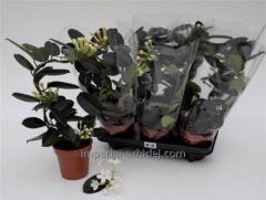 Çiçekli saksı bitkileri
