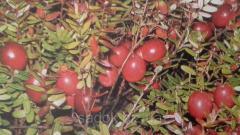 Саджанці журавлини