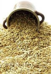 Seeds of Sudanese grass