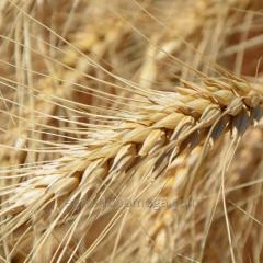 Пшеница озимая мягкая Тури