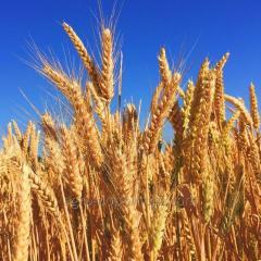 Пшеница озимая Лукуллус