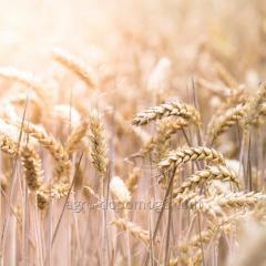 Пшеница озимая мягкая Фабиус