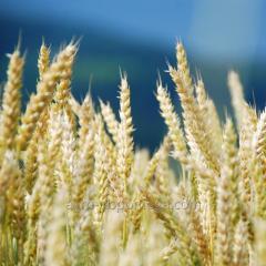 Пшеница озимая Ребелл