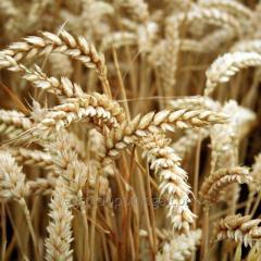 Пшеница яровая Гранус (двуручка)