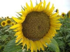 Семена подсолнечника Златибор экстра