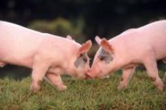 To buy pigs, pigs, male pigs of elite meat breeds