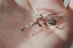 Бразильский паук птицеед Нанду Хроматус Nhandu chromatus