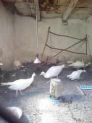 Белые и индийские обыкновенные павлины - молодые