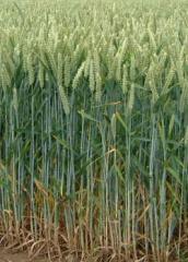 Продам пшеницу второго класса идеального качества, 300 т. в Киевской области с хозяйства от производителя
