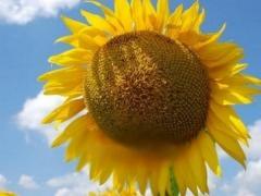 Насіння соняшника СІ Ласкала