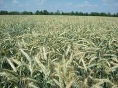 Seeds of winter triticale