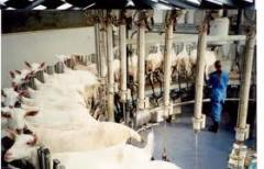 Доїльний зал для кіз і овець