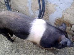 Свиноматки, молодняк, хряки, красно-поясной линии