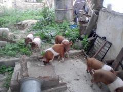 Красно-поясная специализированная линия свиней