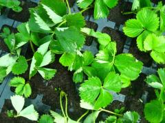 Wild strawberry saplings