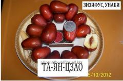 Саженцы зизифуса унаби сорт Та-ян-цзяо привитые