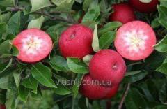 Яблоня сорт Винерпо.
