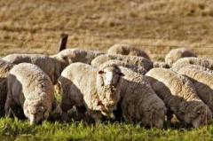 Овцы племенные Асканийские, разведение племененных