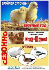 Young growth daily chickens - the layer...