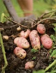 Картофель, Плодоовощные культуры, Черниговская область, Украина