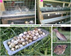 Hatchable egg of quails,  Kryvyi Rih, ...
