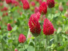 Семена Клевера красного