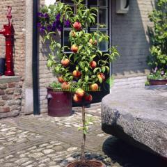 Персик колоновидный