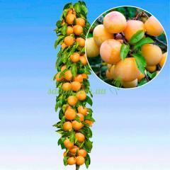 Колоновидный гибрид абрикос-слива
