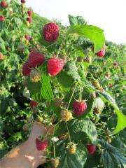Raspberry saplings Glade