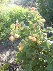 Саженцы малины Желтый гигант