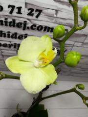 Мультифлора лимонная
