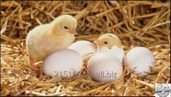 Комбикорм для кур-несушек 1-7 недель