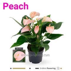 Антуриум Peach Anthurium | 12cm
