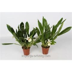 Орхидея Cochleanthus 9 Cm Diverse Kleuren