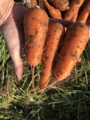 Морковь 2 сорта Абако
