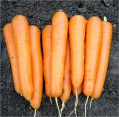 Морковь сорт Атилио