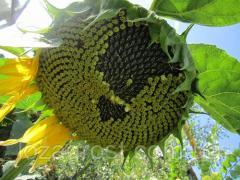 Семена подсолнечника Дозор