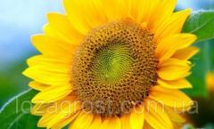 Семена подсолнечника Солтан (толерантен к гранстару)