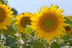 Семена подсолнечника Шенон (толерантный к гранстару)