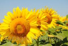Семена подсолнечника Ирими CL (Заатбау)