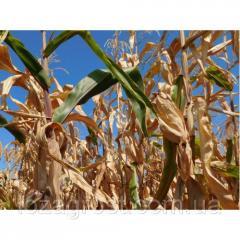 Семена кукурузы Гарантия МВ