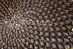 Семена подсолнечника Заклик (гранстарустойчив