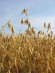 Oats - a harvest of 2013. Export is possible.