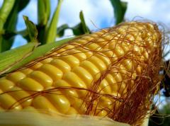 Corn the harvest of 2013 - is possible expor